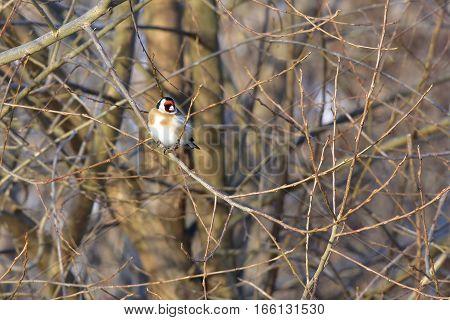 goldfinch bird sitting in tree in winter time