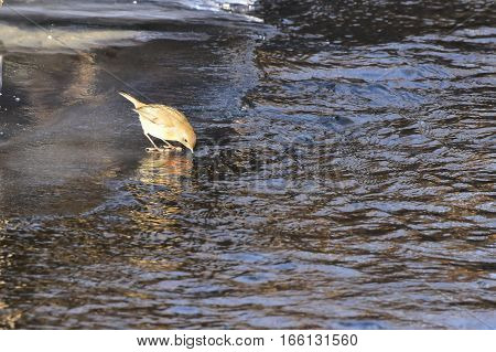 europear robin bird and its thirst in winter time