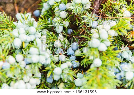 Juniper On Branches
