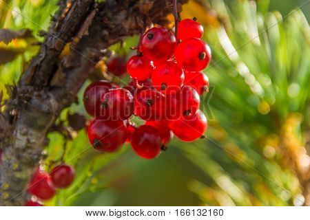 Beautiful bunch of wild red currants closeup