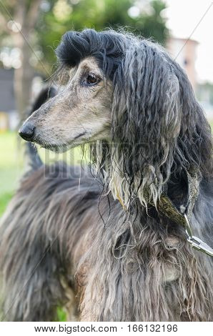 Afghan Hound dog distinguished by its thick fine silky coat