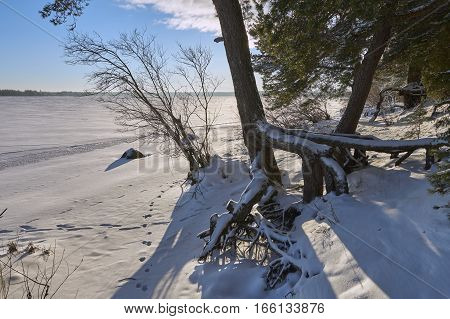 Large roots of pine tree near Vselug lake in winter shot against sun. Penovskiy district Tver oblast Russia.