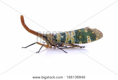 Image of Pyrops candelaria or lantern Fly on white background. Bug Insect.