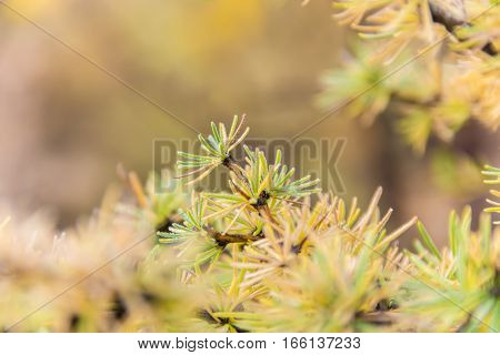 A Branch Of A Larch Closeup