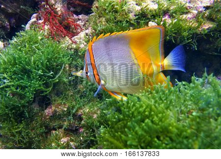 Butterfly fish tweezers (Chelmon rostratus) is swimming among green algae.