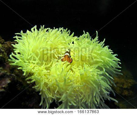 clown fish (Amphiprion ocellaris) is hiding from predators in their sea anemones (Heteractis malu)