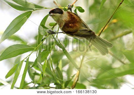 European Penduline Tit Remiz Pendulinus Bird Among Green Leaves