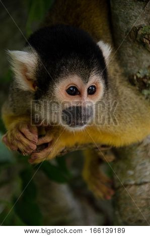 Small monkey hanging by its tale from a tree