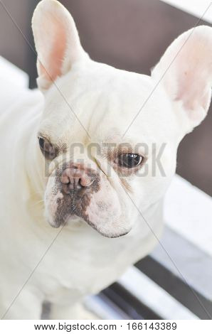 absent minded French bulldog or white French bulldog near the fence