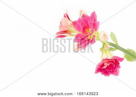 lovely pink decorative flower kalanchoe as part of the ecosystem of home