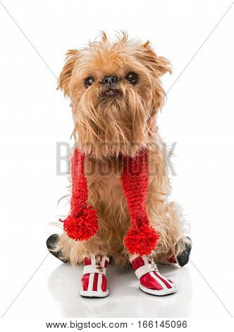 Dog breed Brussels Griffon in a red knit scarf and boots isolated on white