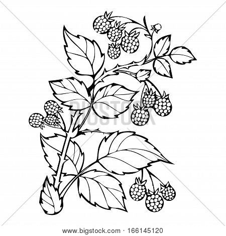 Raspberries Coloring Book, Sketch, Black And White Illustration, Monochrome. Branch Raspberry Leaves