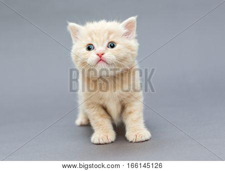 Small British kitten beige on gray background