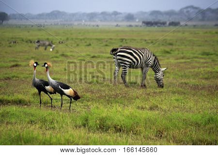 Two Grey Crowned Crane And Zebras In Amboseli National Park