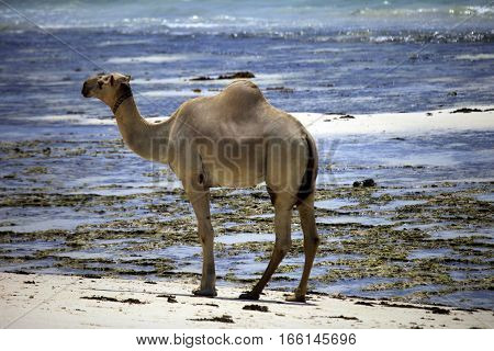 Camel Walking Along The Shore Of The Ocean