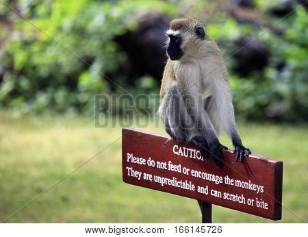 Monkey Sitting On A Wooden Sign