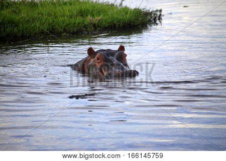 Hippopotamus in the river. Amboseli national park in Kenia