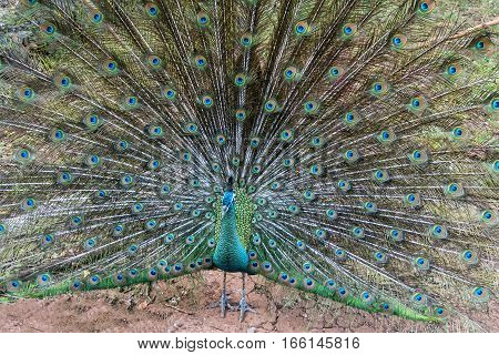 Indian peafowl is spreading it's tail to female.