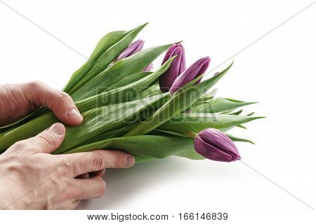 young man hands holding bunch of fresh purple tulips isolated on white on white background