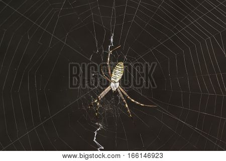 Argiope Bruennichi or spider-wasp - view araneomorph spiders of the family of Orb-web spiders (lat. Araneidae)