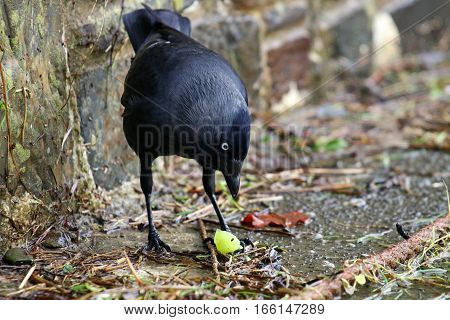 A Jackdaw holding a grape under it's foot