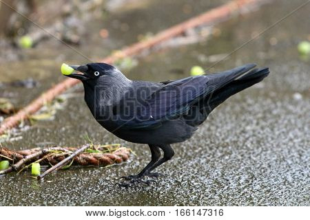 A jackdaw picking up a grape in it's beak
