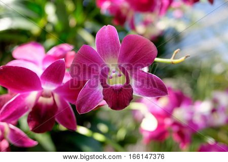 Beautiful pink and purple orchids hanging from the branch