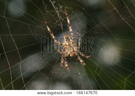 The abdomen of the spider a garden spider (lat. Araneus) kind araneomorph spiders of the family of Orb-web spiders (Araneidae).