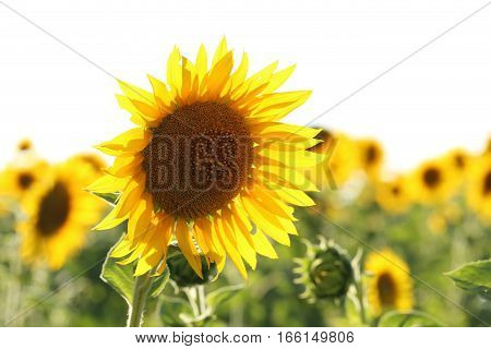 Sunflowers in the field outdoors, close up