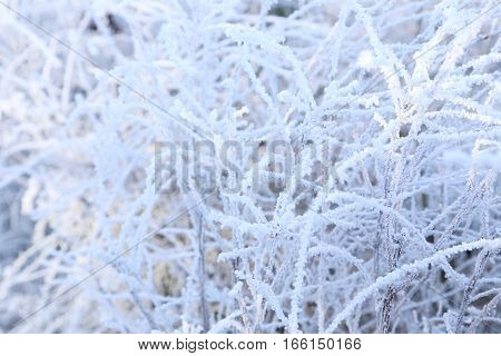 The Frozen tree branches, on close up