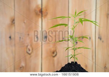 Green Cannabis Plants