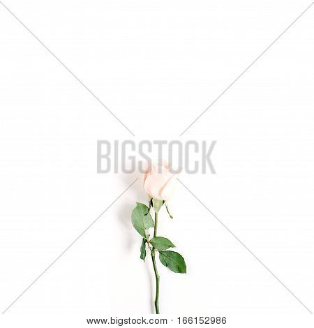 One beige rose on white background. Flat lay top view. Valentine's background.