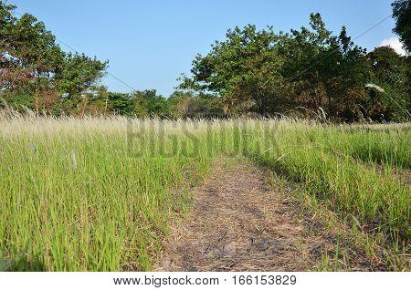 Pampas grass flower on the outdoor field