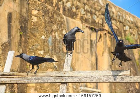 House crow or Corvus splendens protegatus in Sri Lanka