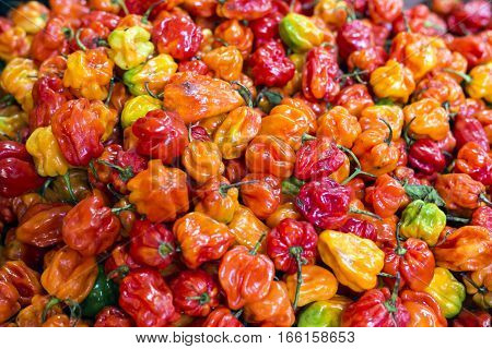 Many Red Yellow Orange Habanero Peppers