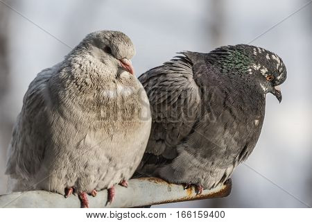 two pigeons in winter time close-up .