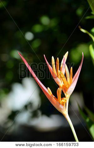 Parrot's Beak Heliconia Latin name Heliconia psittacorum flower poster