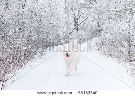 White dog Samoyed running in the winter woods