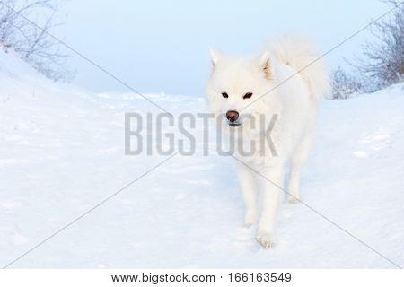 white Samoyed dog on the snow background