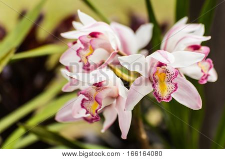 white cymbidium flower , beauty in nature