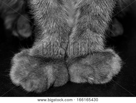 The forelegs cat closeup. Paws declawed. Black and white photo.
