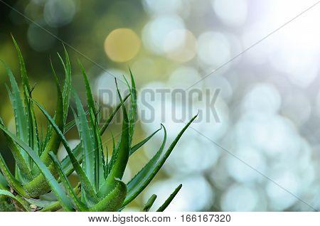 Aloe Vera with white light in garden