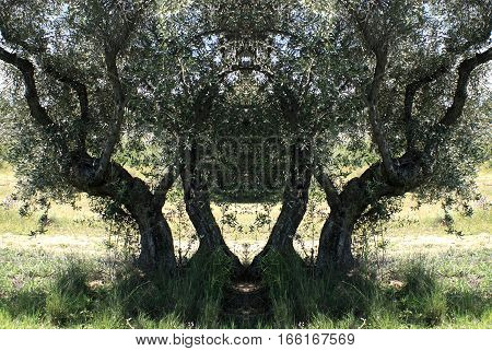 Symmetrical photography of olive trees in Toledo, Castilla La Mancha, Spain