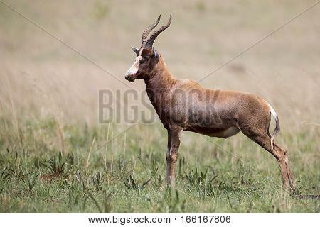 Blesbok male standing on an open grass plain