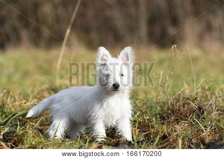 Three months old West Highland White Terrier posing for a photo