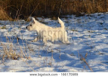 Four months old West Highland White Terrier ready to attack