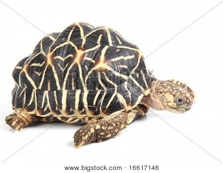a studio photo of a tortoise crawling on white background poster