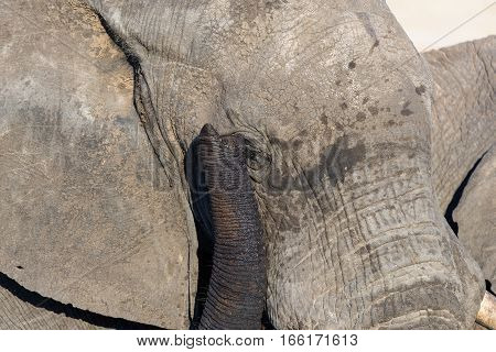 Close Up And Portrait Of A Huge African Elephant, With Proboscis On The Eye. Wildlife Safari In The