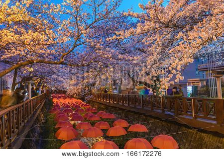 Spring Cherry blossom at Yeojwacheon Stream at night Jinhae South Korea
