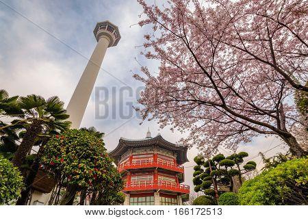 Busan Tower with spring cherry blossom Busan Korea